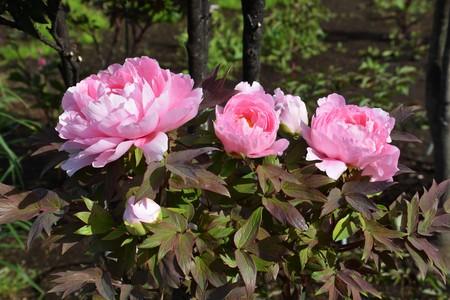 Tree Peony flowers