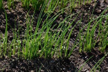 Raising seedlings of