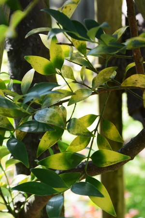 Yellowind leaves of Podocarpus Nagi 版權商用圖片