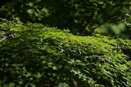 Japanese maple Samaras