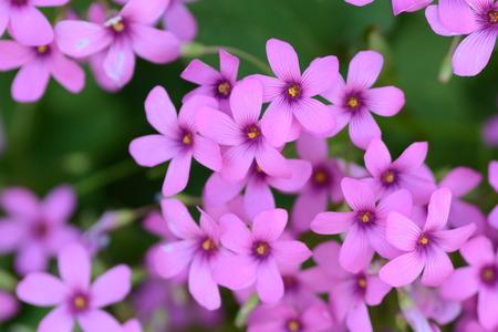 Pink sorrel Stock Photo