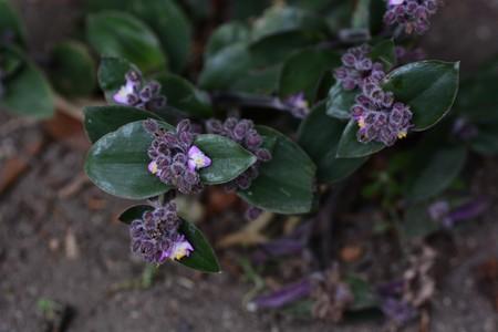 Flowering inch plant Banque d'images
