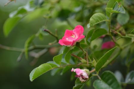 Single-flowered Climbing roses