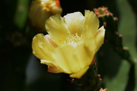 Flowers of Prickly pear cactus 写真素材