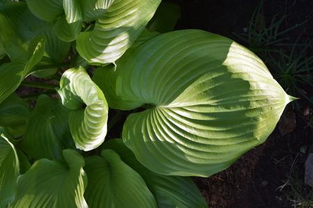 Leaves of hosta Stock Photo