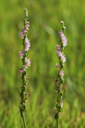 Spiranthes sinensis Stock Photo