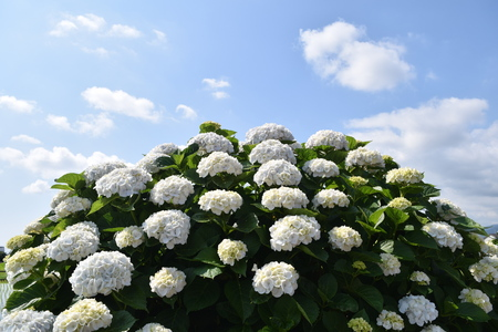 Hydrangea in full blooming rural area
