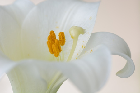 Background/Lily flowers Stock Photo