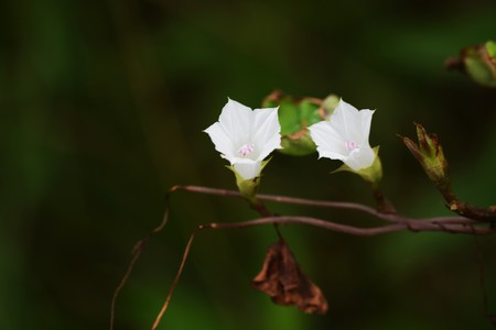 Small-flowered white morning glory (Ipomoea lacunosa)