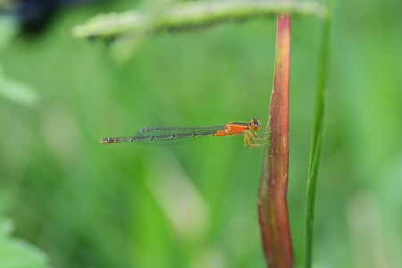 A damselfly with narrow, transparent wings, sloping thorax, and long, slender body on a grass leaf