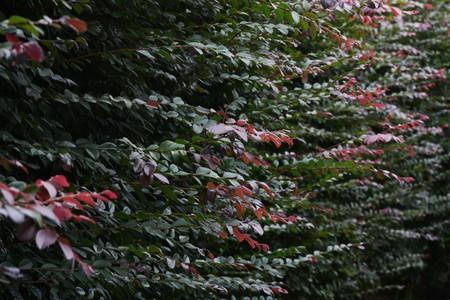 Chinese fringe bush