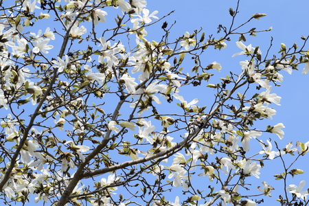 Magnolia kobus trees in the spring and autumn