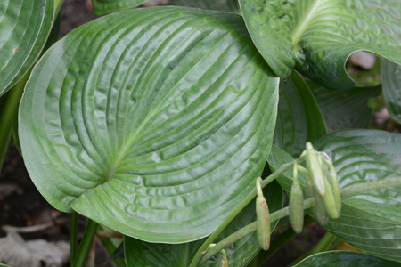 Plantain lily (Hosta) leaves and Background Stock Photo