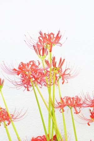 Background/Red spider lily
