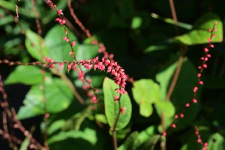 Persicaria filiformis flowers Stock Photo
