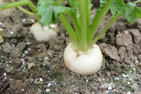 Turnip cultivation and Kitchen garden