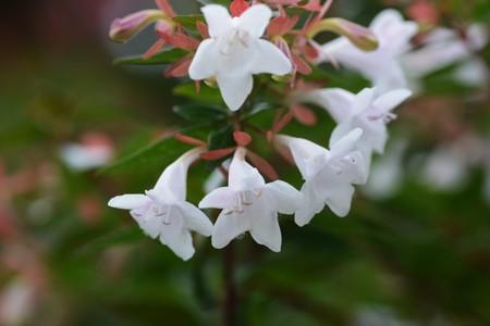 Glossy abelia flowers