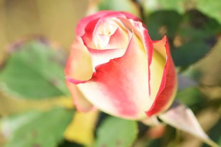 Rose flowers in the garden Standard-Bild