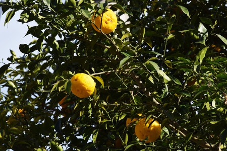 Citrus fruits 写真素材