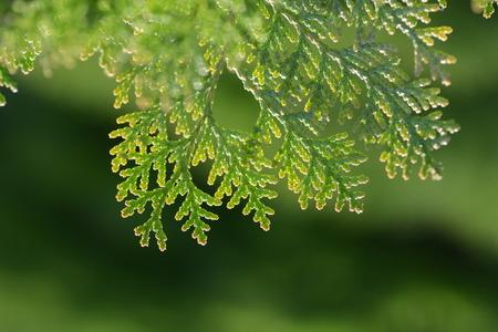 Japanese cypress (Hinoki leaf)