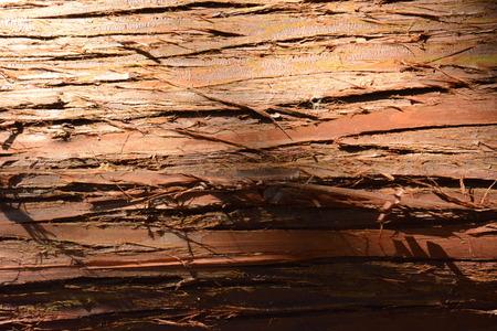 Trunk of a Japanese cedar