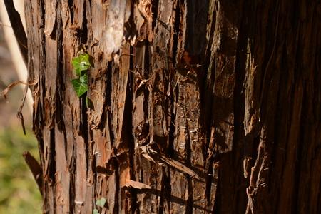 Trunk of a Japanese cedar Standard-Bild