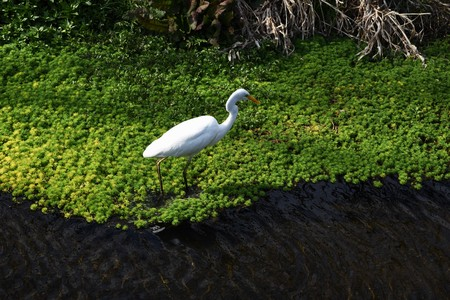 An egret in the stream