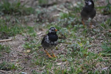White-cheeked starlings. 版權商用圖片