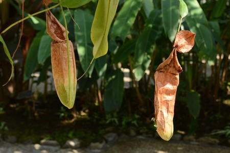 Tropical pitcher plant Imagens