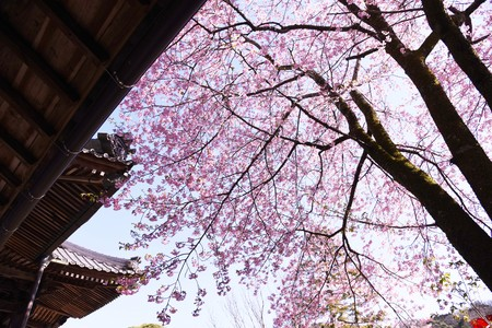 Cherry blossoms in the precincts of Japanese temple 写真素材