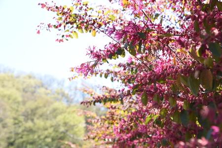 Fleur de frange chinoise