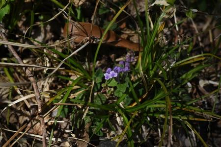 Scutellaria indica flowers