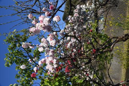 Peach blossoms in full bloom Foto de archivo