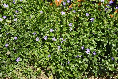 Vinca major flowers