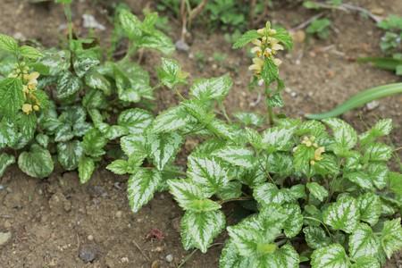 Lamium galeobdolon flowers