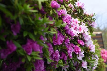 Azalea blossoms