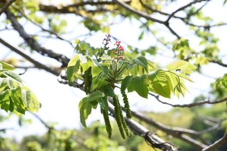 Manchurian walnut flowers Foto de archivo - 127734695