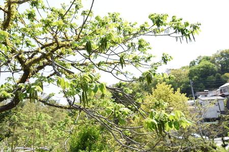 Manchurian walnut flowers Foto de archivo - 127734705
