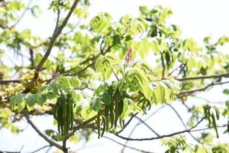 Manchurian walnut flowers Foto de archivo - 127734710