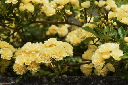 Banksia rose blossoms