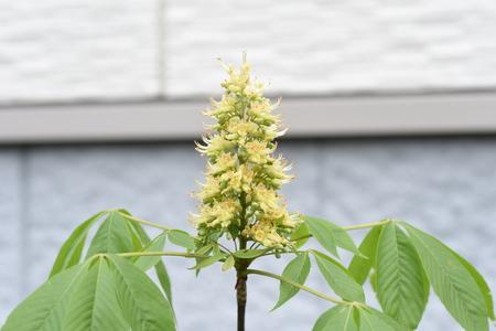 Japanese horse chestnut flowers