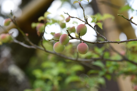Japanese apricot fruits