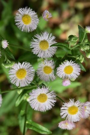 Philadelphia fleabane flowers