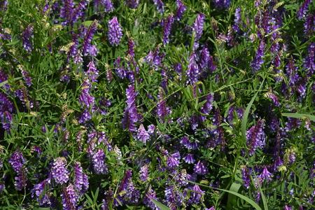Vicia villosa blossoms