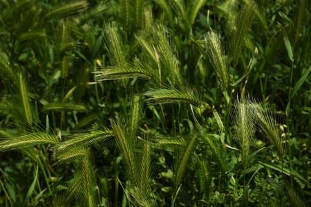 Wall barley grass