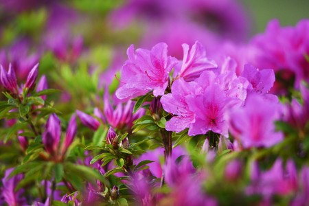 Azalea flowers Stok Fotoğraf