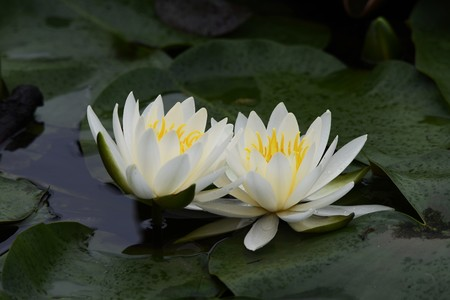 Water lily flowers Archivio Fotografico - 122249865