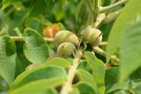 Manchurian walnut fruits Foto de archivo - 124235102