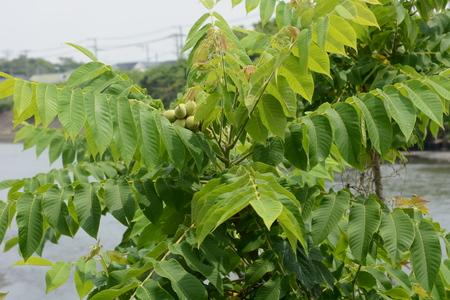 Manchurian walnut fruits Banco de Imagens