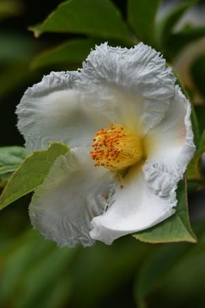 Japanese stewartia blossoms